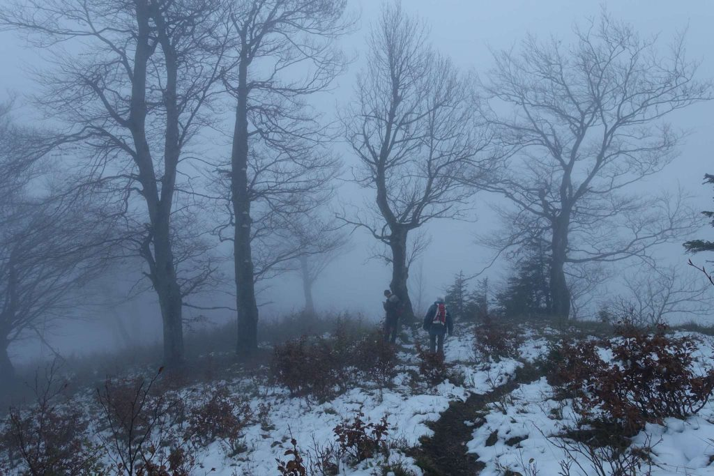 Alte, knorrige Buchen im Nebel