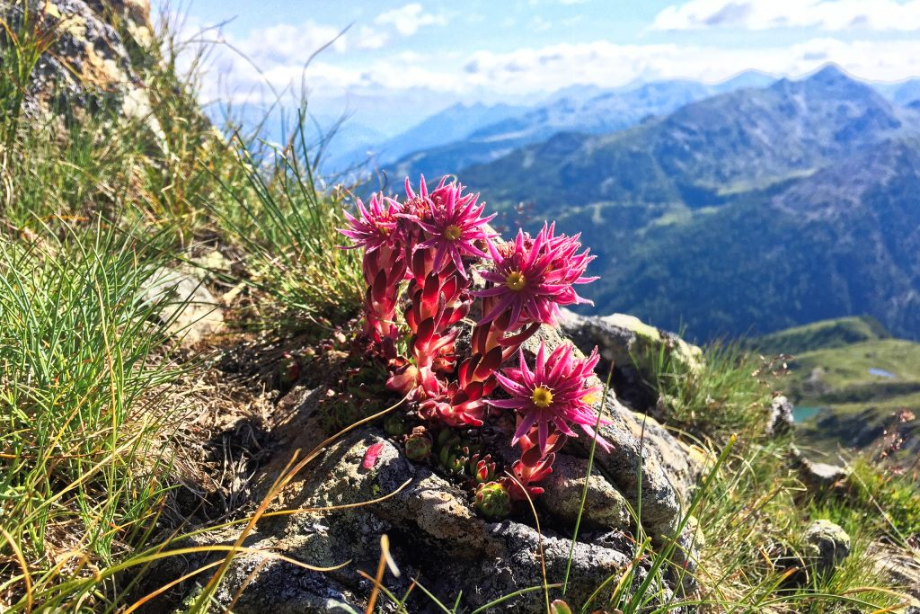 Blühender Alpenhauswurz. Fotos: Petra Jens