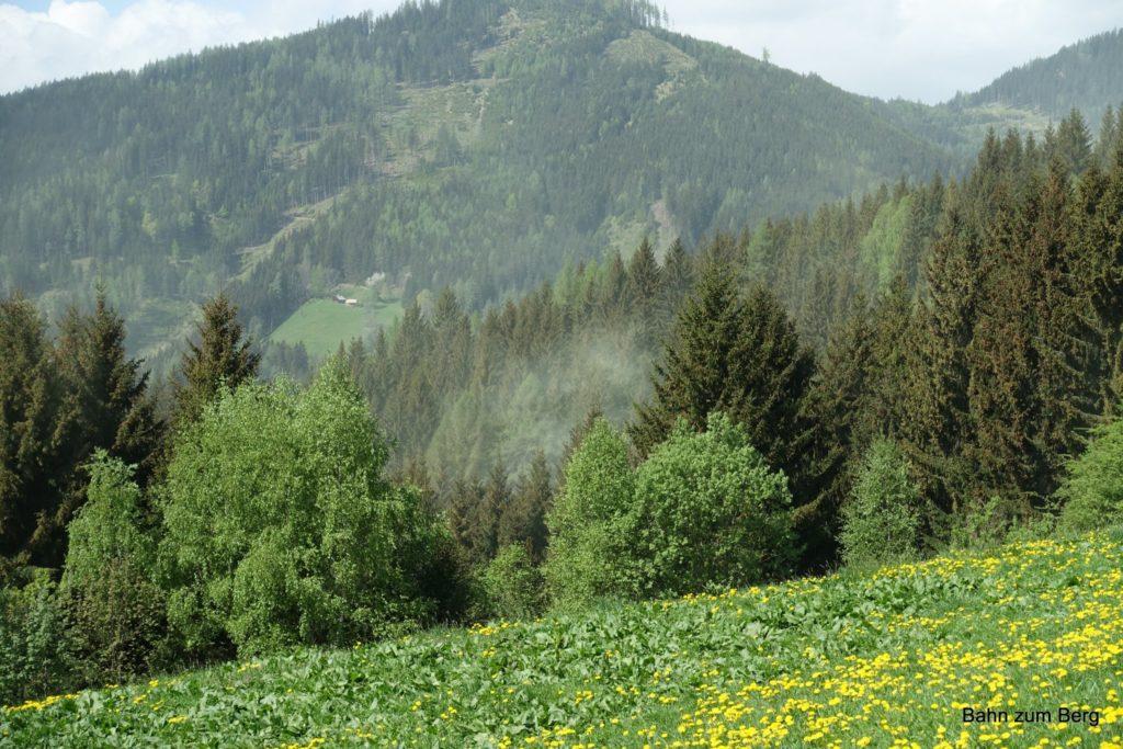 Pollen der Nadelhölzer werden vom Wind wie Nebelschwaden verteilt