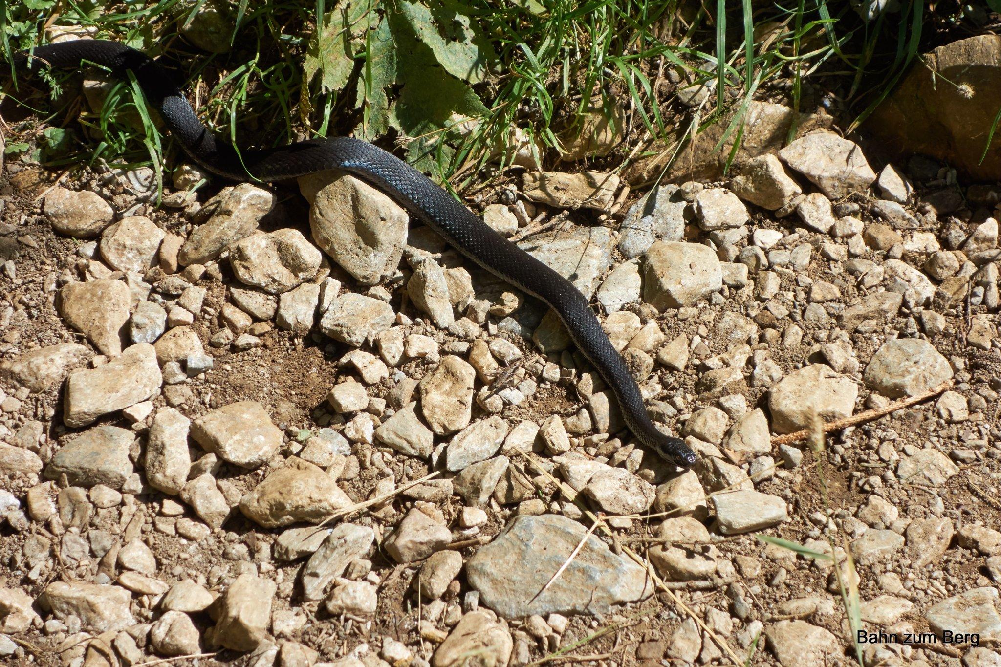 Höllenotter (schwarze Kreuzotter)