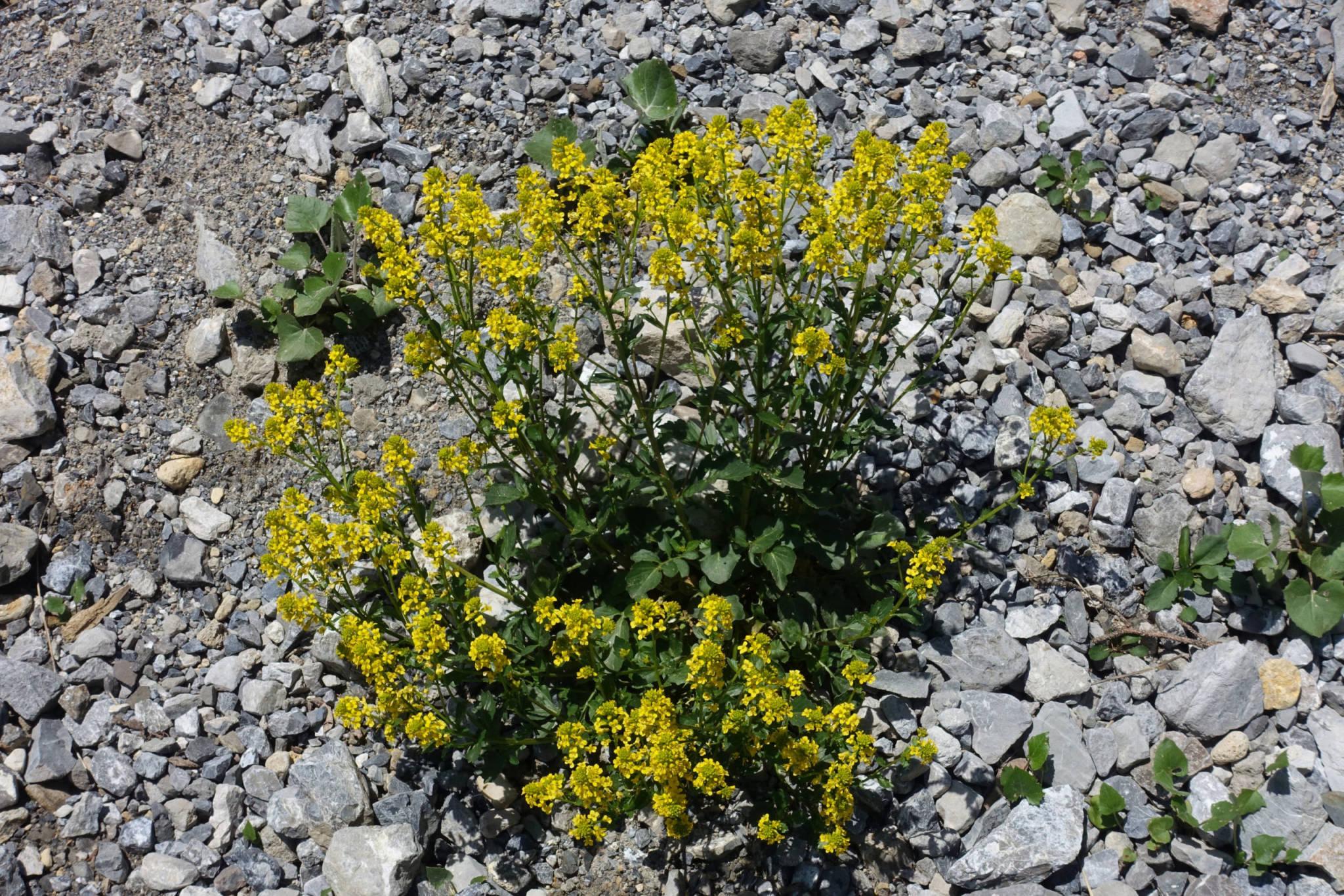 Viele Alpenblumen stehen bereits in voller Blüte (Foto: Peter Backé)