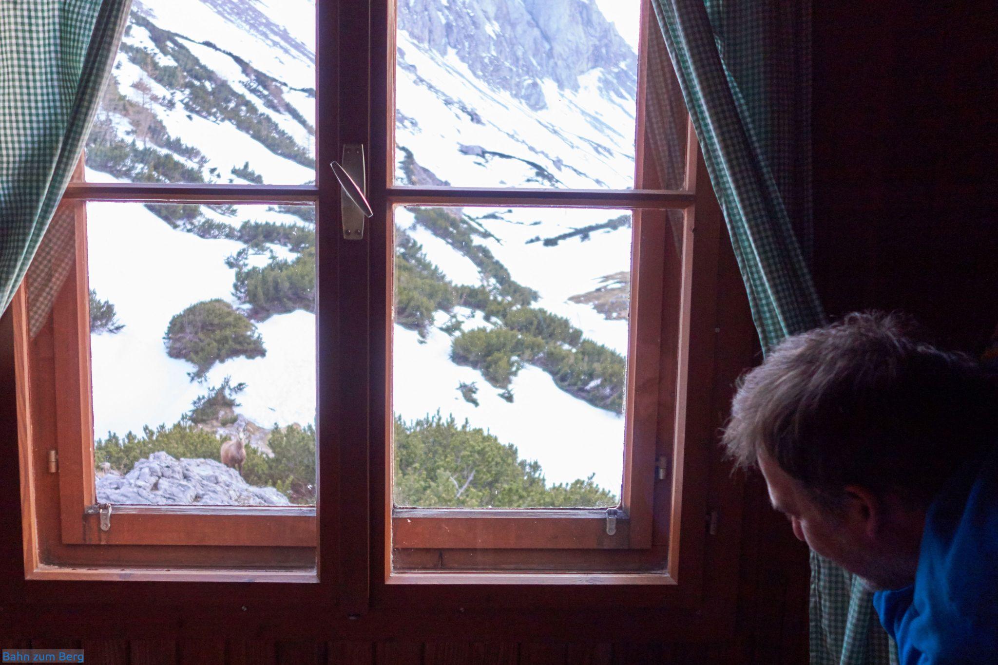 Eine Gämse steht direkt vor unserem Zimmer in der Voisthalerhütte und schaut uns an.
