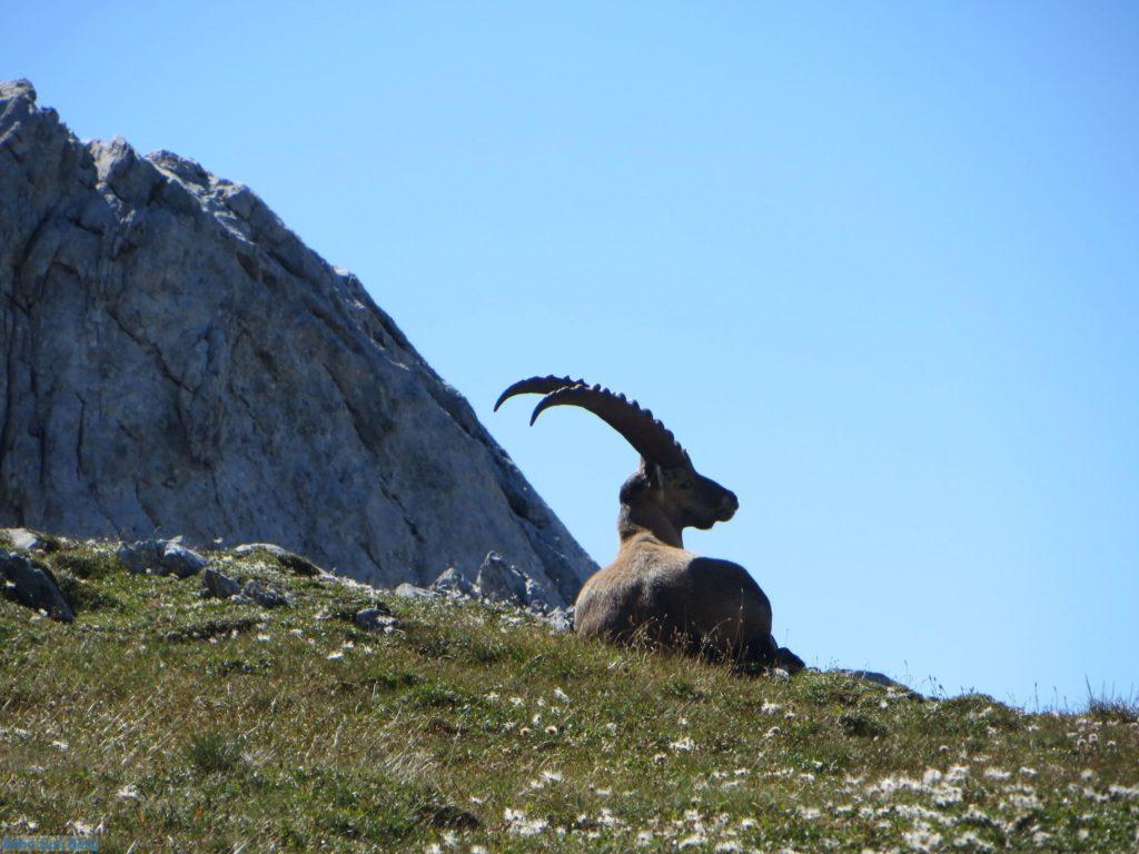 Ein beeindruckender Steinbock am Weihbrunnkessel. Foto: Didi T.