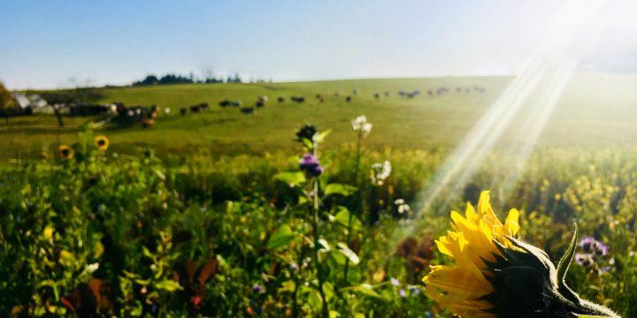 Rinderherde & Sonnenblume (Foto: Stefan Hochhold)