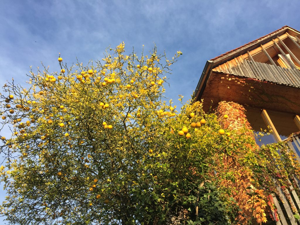 Zitronenbaum. Foto: Petra Jens