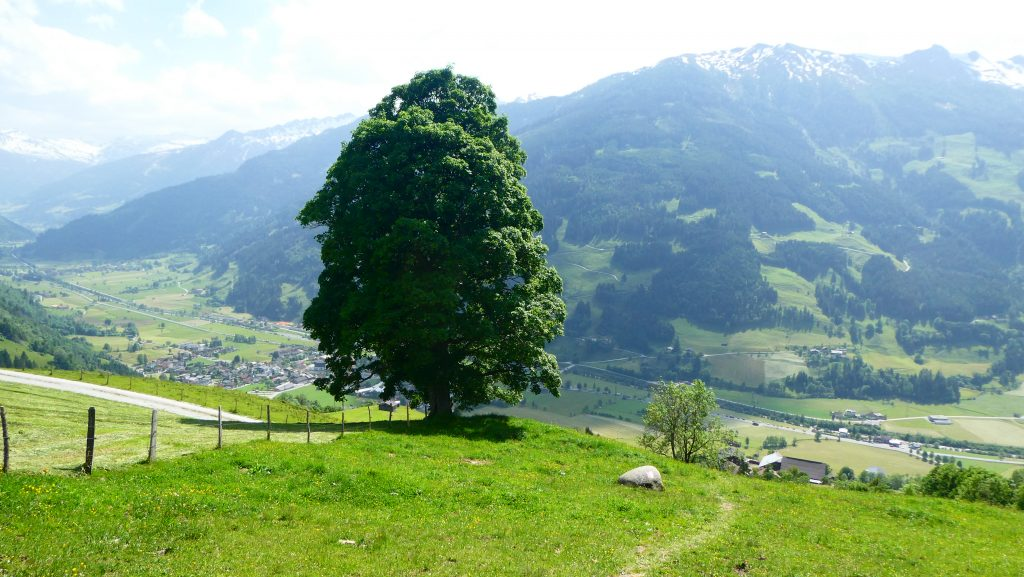 Ahorngruppe nahe Bergl bei Dorfgastein. Foto: Karl Plohovich