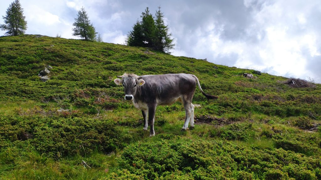 Tiroler Grauvieh. Foto Birgit Matzinger