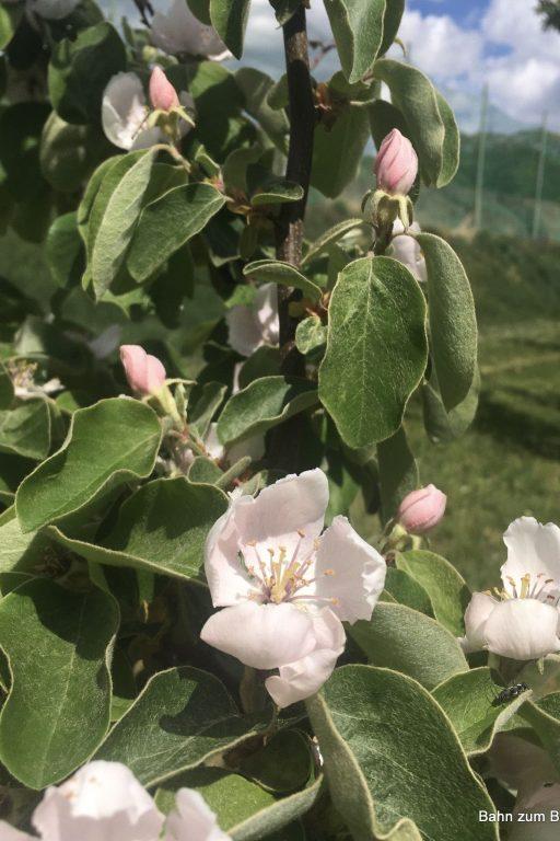 Quitten- und Birnblüten. Fotos veronika Schöll