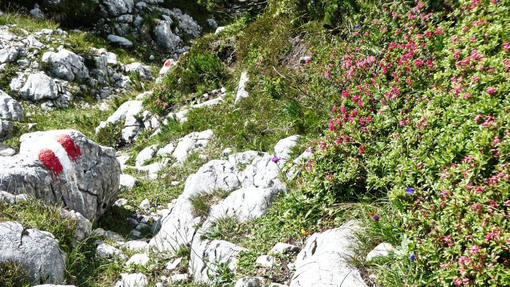 Almrausch Mitte August! Foto: Karl Plohovich