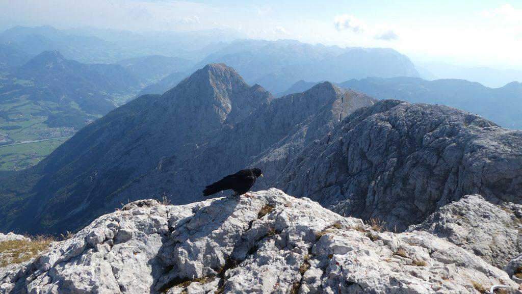 Gipfelbewohnerin Bergdole. Foto: Karl Plohovich