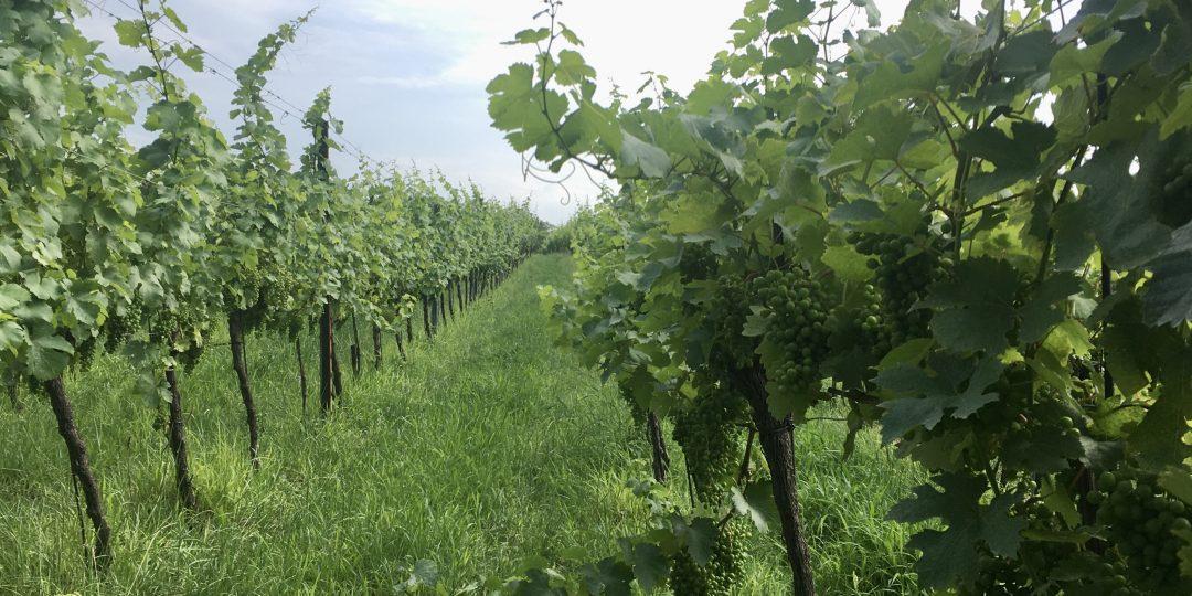Weingärten am Bisamberg. Foto Veronika Schöll
